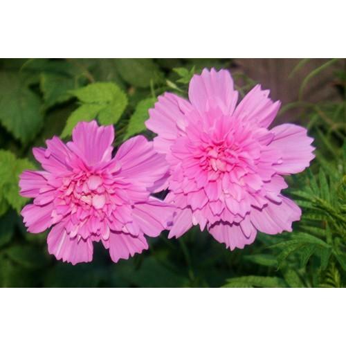 Hạt giống hoa sao nháy kép mix - 11159030 , 11538601 , 15_11538601 , 25000 , Hat-giong-hoa-sao-nhay-kep-mix-15_11538601 , sendo.vn , Hạt giống hoa sao nháy kép mix