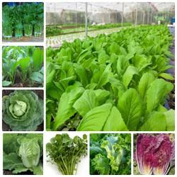 COMBO 12 loại rau vụ Đông dễ trồng ngắn ngày nhanh thu hoạch