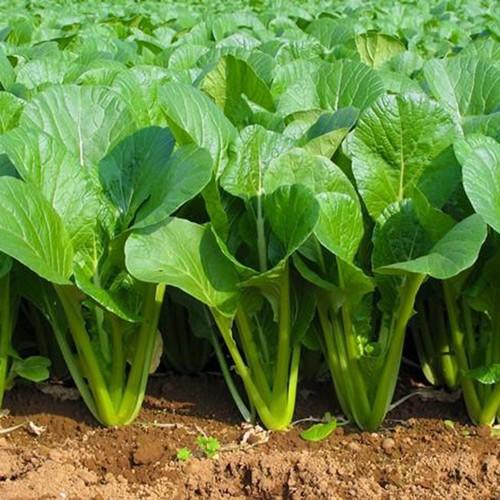 Hạt giống rau cải ngọt Gọng xanh - Cây to- Chậm trổ bông HGR014 - 6780578 , 13480999 , 15_13480999 , 13000 , Hat-giong-rau-cai-ngot-Gong-xanh-Cay-to-Cham-tro-bong-HGR014-15_13480999 , sendo.vn , Hạt giống rau cải ngọt Gọng xanh - Cây to- Chậm trổ bông HGR014