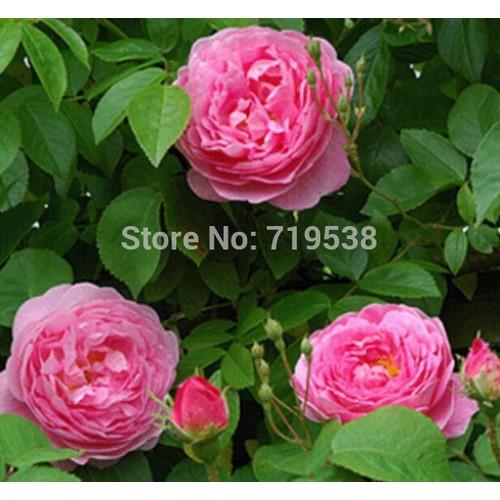 Hạt giống hoa hồng màu hồng bán lẻ 30 hạt - 6801587 , 13507973 , 15_13507973 , 10000 , Hat-giong-hoa-hong-mau-hong-ban-le-30-hat-15_13507973 , sendo.vn , Hạt giống hoa hồng màu hồng bán lẻ 30 hạt