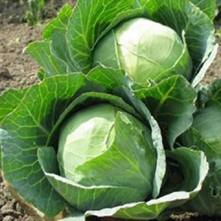 Hạt giống cải bắp xanh 4