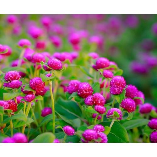 Hạt giống hoa cúc bách nhật - 4612853 , 13824179 , 15_13824179 , 21000 , Hat-giong-hoa-cuc-bach-nhat-15_13824179 , sendo.vn , Hạt giống hoa cúc bách nhật