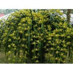 hoa lan  địa lan kiếm trần mộng - 1kg