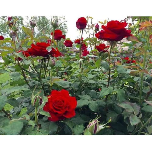 Combo 5 cây hồng giống Pháp rễ trần - 11213194 , 13594460 , 15_13594460 , 100000 , Combo-5-cay-hong-giong-Phap-re-tran-15_13594460 , sendo.vn , Combo 5 cây hồng giống Pháp rễ trần
