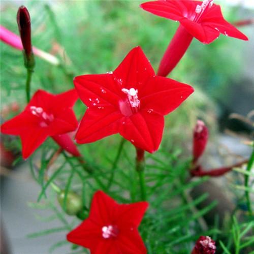 Combo 5 gói hạt giống hoa leo giàn tóc tiên