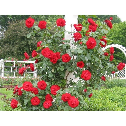 Bộ 2 gói Hạt giống hoa hồng leo màu Đỏ - 6960722 , 13700606 , 15_13700606 , 45000 , Bo-2-goi-Hat-giong-hoa-hong-leo-mau-Do-15_13700606 , sendo.vn , Bộ 2 gói Hạt giống hoa hồng leo màu Đỏ