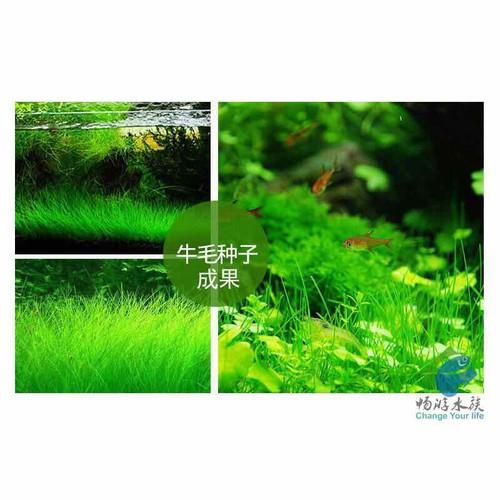 Hạt giống cỏ ngưu mao chiên lùn cho hồ thủy sinh