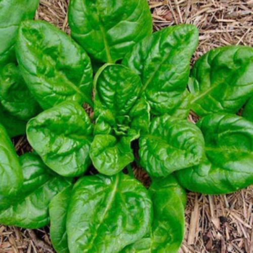 COMBO 2 gói hạt giống rau chân vịt cải bó xôi TẶNG 1 phân bón - 6986335 , 13727791 , 15_13727791 , 49000 , COMBO-2-goi-hat-giong-rau-chan-vit-cai-bo-xoi-TANG-1-phan-bon-15_13727791 , sendo.vn , COMBO 2 gói hạt giống rau chân vịt cải bó xôi TẶNG 1 phân bón