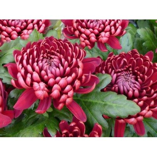 COMBO 5 gói hạt giống hoa thúy cúc đại đóa TẶNG 1 phân bón