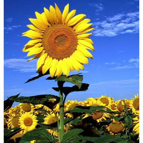 30 hạt giống hoa hướng dương  khổng lồ