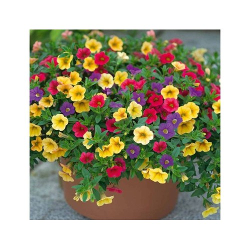 50 hạt giống hoa triệu chuông nhiều màu treo ban công