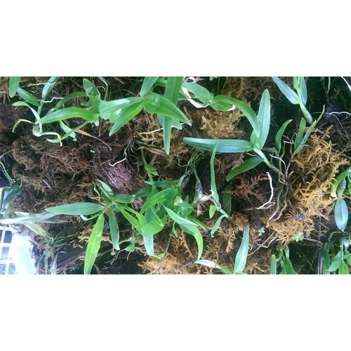 1kg rêu rừng chuyên trồng lan