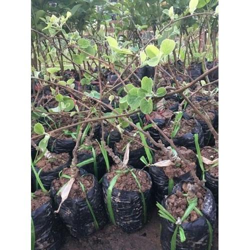 Giống cây kiwi ruột đỏ