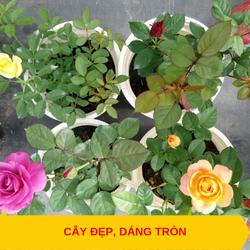 Cây hoa hồng tezza - cây có bầu đất khỏe mạnh