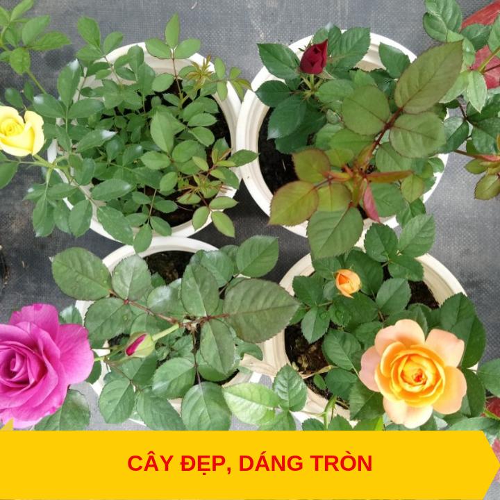 Cây hoa hồng tezza cây mini dáng đẹp