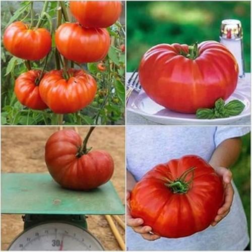 Hạt giống cà chua khổng lồ