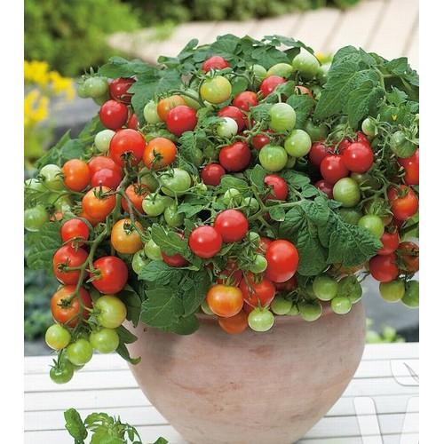 Hạt giống cà chua bi cherry lùn đỏ