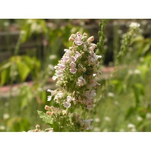 Hạt giống cây bạc hà cho mèo chất lượng cao tặng gói hạt giống ngẫu nhiên