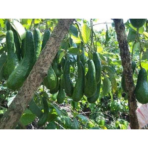 Cây giống bơ trái dài - 17092075 , 22671492 , 15_22671492 , 160000 , Cay-giong-bo-trai-dai-15_22671492 , sendo.vn , Cây giống bơ trái dài