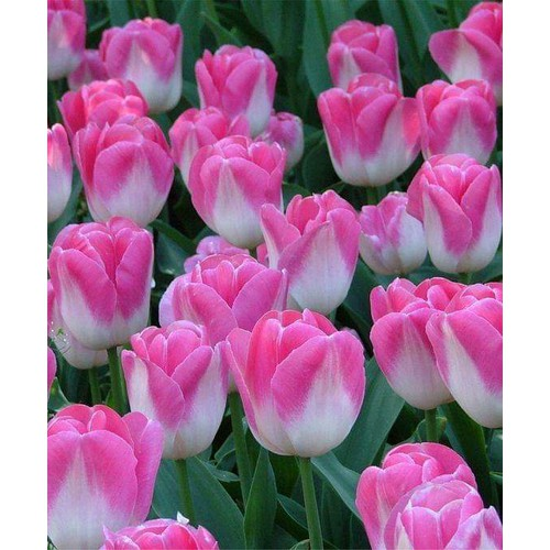5 củ hoa tuy líp - 18089413 , 22711469 , 15_22711469 , 99000 , 5-cu-hoa-tuy-lip-15_22711469 , sendo.vn , 5 củ hoa tuy líp