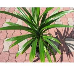 Combo 5 Cây lá dứa giống tươi xanh - dứa thơm - nếp thơm - cây cơm nếp giá rẻ