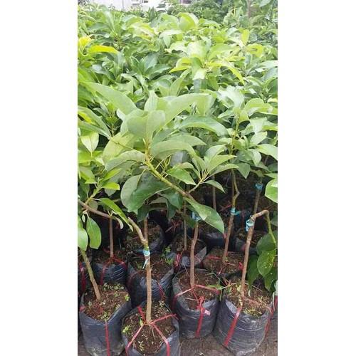 Cây giống bơ trái dài - 17016574 , 22235539 , 15_22235539 , 150000 , Cay-giong-bo-trai-dai-15_22235539 , sendo.vn , Cây giống bơ trái dài