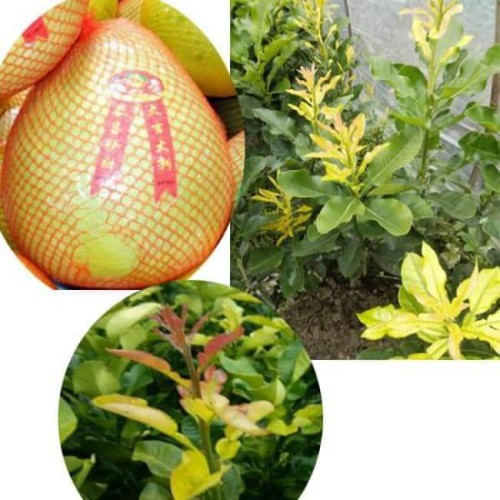 Cây giống bưởi phúc kiến - 18178345 , 22833966 , 15_22833966 , 160000 , Cay-giong-buoi-phuc-kien-15_22833966 , sendo.vn , Cây giống bưởi phúc kiến