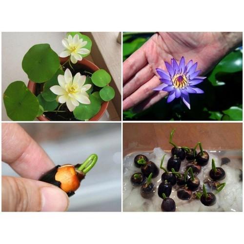 Gói 5hạt giống hoa sen mini nhiều màu- nanuseeds