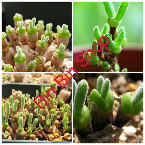 Hạt giống cây tai thỏ 4 -5 hạt cây cảnh để bàn văn phòng - 20265458 , 22912555 , 15_22912555 , 39000 , Hat-giong-cay-tai-tho-4-5-hat-cay-canh-de-ban-van-phong-15_22912555 , sendo.vn , Hạt giống cây tai thỏ 4 -5 hạt cây cảnh để bàn văn phòng