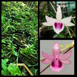 hoa lan phi điệp tím cây giống