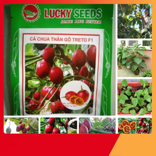 Hạt giống cà chua thân gỗ tamarillo gói 04 hạt