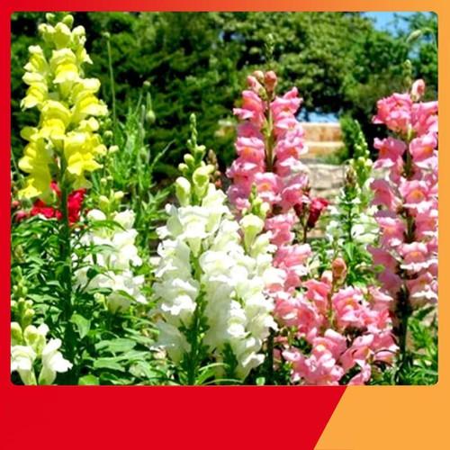 Hạt giống hoa mõm sói mix nhiều màu 100 hạt - 17123788 , 22926799 , 15_22926799 , 25000 , Hat-giong-hoa-mom-soi-mix-nhieu-mau-100-hat-15_22926799 , sendo.vn , Hạt giống hoa mõm sói mix nhiều màu 100 hạt