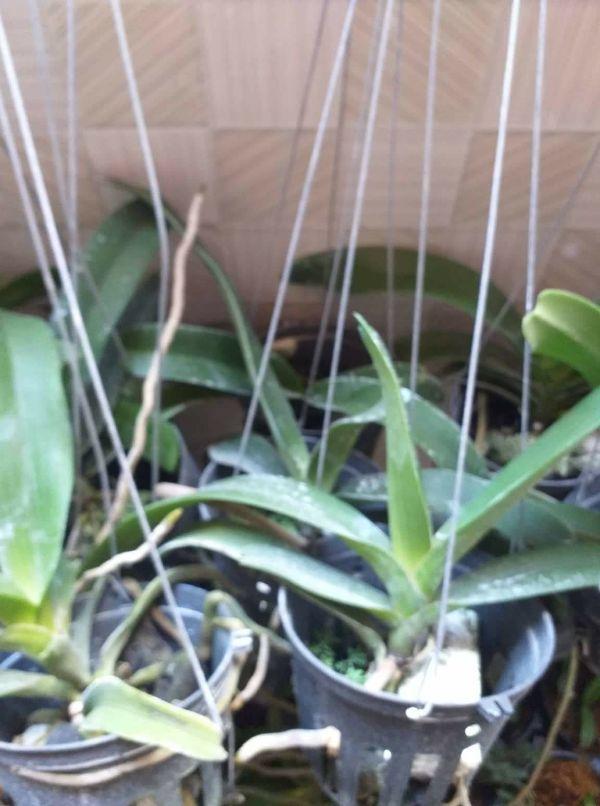 3 chậu phong lan ngọc điểm - đai châu rừng thuần vườn