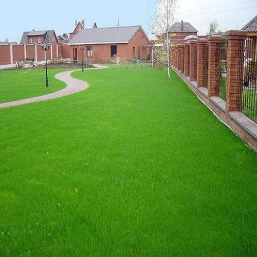 20 gram hạt giống cỏ thảm bermuda trồng cho 2m2 sân vườn và tiểu cảnh