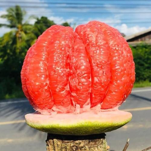 Cây giống bưởi đỏ rubytubtim siamthái lan