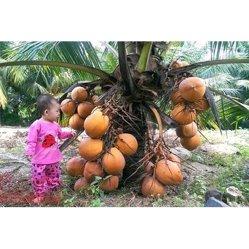 Cây giống dừa xiêm thái