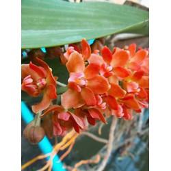 Hoa phong lan Ngọc Điểm giống 5 màu