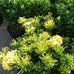 Cây hoa trang- mẫu đơn các màu