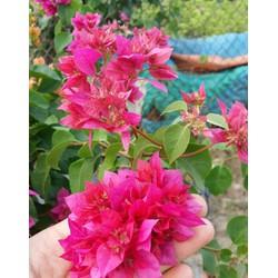 cây hoa giấy màu đỏ kép _cây hình 2 3