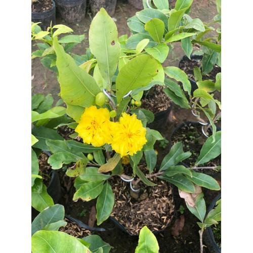 Hoa mai cúc 24 cánh giống rất khỏe và chịu hạn tốt
