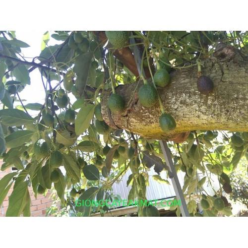 Cây giống bơ chín muộn - 17825787 , 22368507 , 15_22368507 , 150000 , Cay-giong-bo-chin-muon-15_22368507 , sendo.vn , Cây giống bơ chín muộn