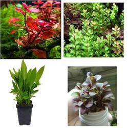 Combo 4 loại cây thủy sinh đẹp dễ trồng dễ chăm sóc cho bể thủy sinh và hồ cá cảnh