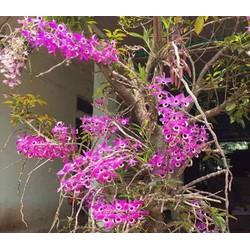 Kèn chuẩn Lai Châu 3000k chuẩn hình bảo hành mặt hoa