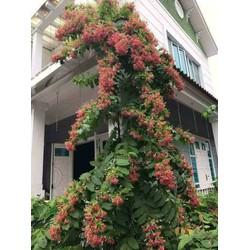 Cây hoa sử quân tử- trang leo- hoa giun