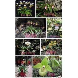 Combo 6 loại Lan Hài có mặt hoa như hình cây giống 250k