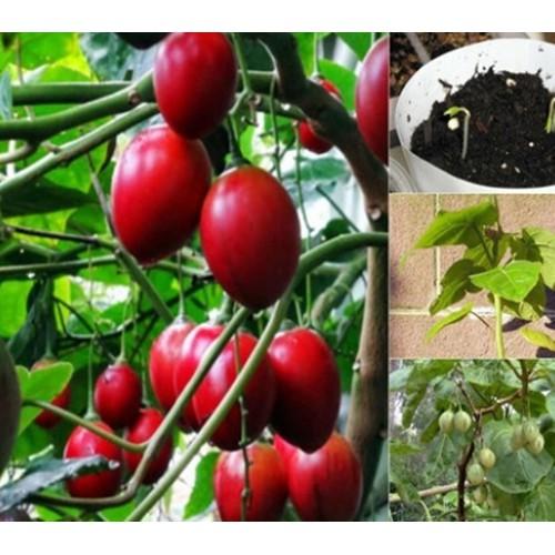 Hạt giống cà chua thân gỗ tamarillo đỏ nảy mầm cao- gói 3 hạt