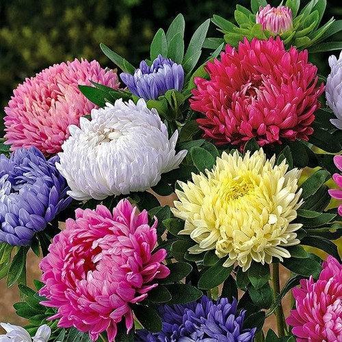 Hạt giống hoa cúc công chúa nhiều màu - trang_flower shop