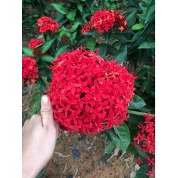 5 cây hoa mẫu đơn bỉ lá nhỏ hoa đỏ