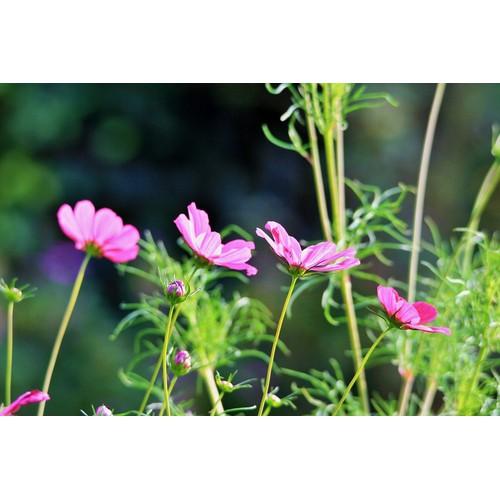 Hạt giống hoa vũ trụ vườn  giá rẻ - hạt giống chất lượng cao