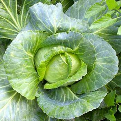 Hạt giống rau cải bắp